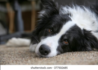 A dog lying on the floor looking at the camera