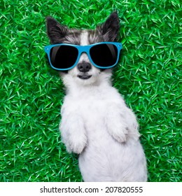 dog lying on grass with blue sunglasses