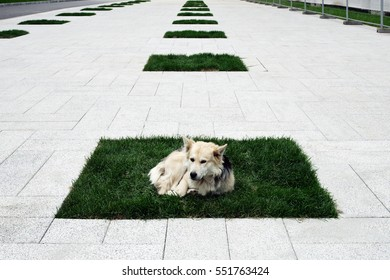 A dog is lying on one of several rhythmically arranged lawns in a city pedestrian zone. Russia, Moscow, September 2016.