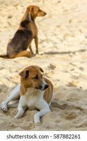Dog lying on the sand on the beach of Karon in Phuket Thailand