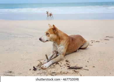Dog lying on the sand on the island of Sri Lanka.