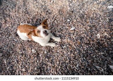dog lying on seashells on the beach. Jack Russell Terrier