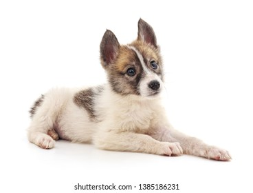 The dog is lying on a white background.