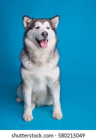 dog malamute, husky in studio isolated on blue background, funny happy siberian alaskan dog looks like a teddy bear, fluffy dog smiling with his tongue out