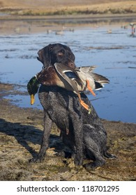 Dog with a Mallard Duck