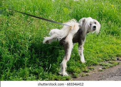 The dog marks the grass. Natural. Cute small dog peeing on a grass. Walking dog