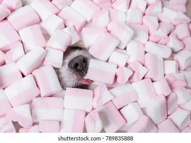 The dog with marshmallows. A funny pet.