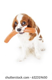 Dog with meat. Dog food with cavalier king charles spaniel. Trained pet photo. Animal dog training with food. Cute Spaniel photo for every concept. Hungry dog illustration on isolated white background