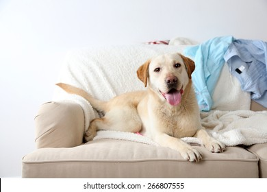 Dog in messy room, lying on sofa, close-up