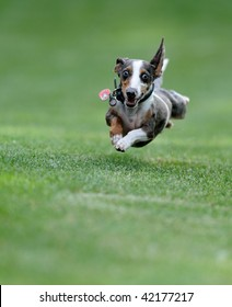 Dog (Miniature Dachshund) in flight
