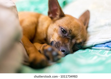 dog miniger chihuahua