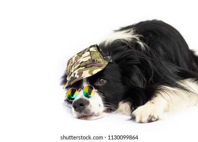 Dog in mirror sunglasses and army masked cap. The breed id black and white border collie.