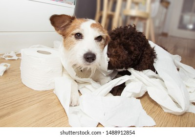 Dog mischief. Jack russell  and puppy poodle with guilty expression after play unrolling toilet paper. Disobey concept.