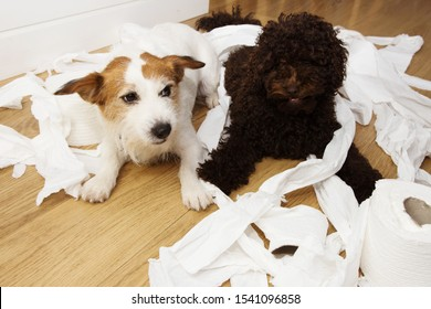 Dog mischief. Jack russell  and puppy poodle with guilty or surprised expression after play to bite  and unrolling  toilet paper. Disobey and alone home concept.