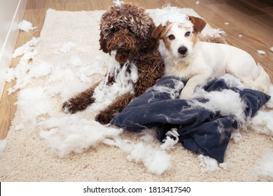 Dog mischief. Two dogs with innocent expression after destroy a pillow. separation anxiety and obedience training concept.