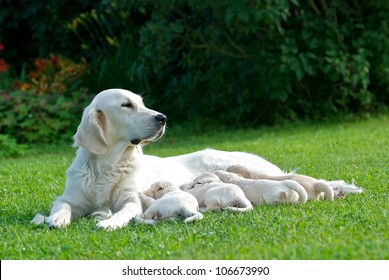 Dog mom, labrador mom, dog mother, Golden Retriever, mom with little puppies on a grass