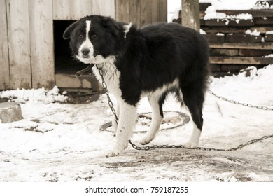 dog mongrel black and white color on the chain walks near the doghouse