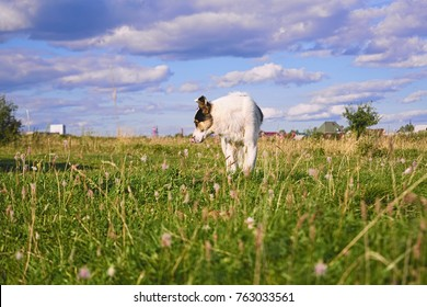 The dog, mongrel, young, male. A dog stands on a meadow