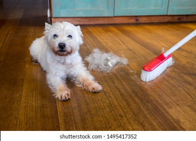 Dog moulting and shedding hair: broom sweeping fur from west highland white terrier indoors, with copy space