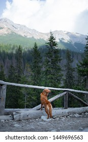 dog in the mountains on a journey. Nova Scotia duck tolling Retriever in nature on the background of beautiful scenery. dog Travel