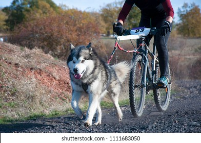 A dog and its musher taking part in a popular canicross with bicycle (bikejoring)