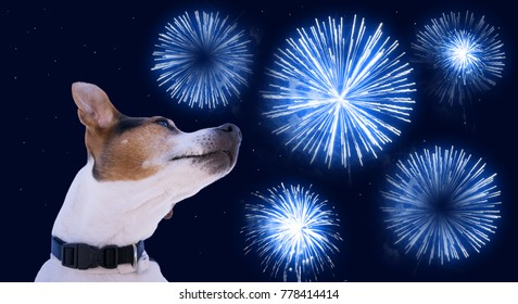 Dog muzzle jack russell terrier against the sky with blue fireworks. Safety of pets during fireworks concept