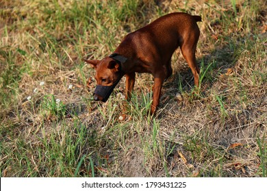 A dog in a muzzle stands in nature. Pet wear a muzzle on a walk. The dog has a black muzzle on its snout. Miniature Pinscher black muzzle.