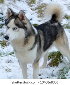 A dog named Loki