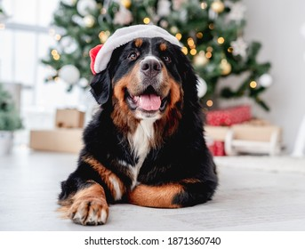 Dog near christmas tree at home