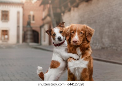 Dog New Scotland retriever and jack russel terrier in the city, Old Town, Europe