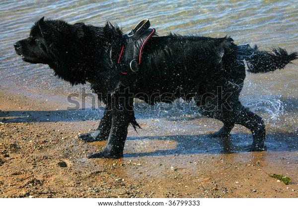 Dog newfoundland it is black colors ashore