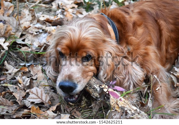 Dog nibbles a stick, Brown cocker spaniel in forest