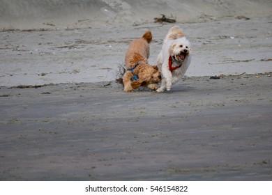 Dog nips at dog pal on beach