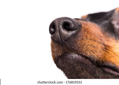 Dog nose isolated on white