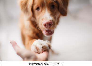 Dog Nova Scotia Duck Tolling Retriever on a studio background