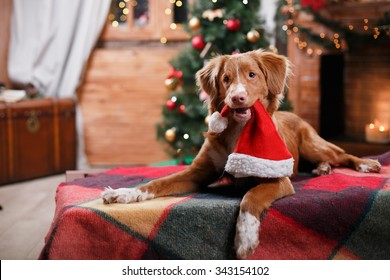 Dog Nova Scotia Duck Tolling Retriever holiday, Christmas and New Year
