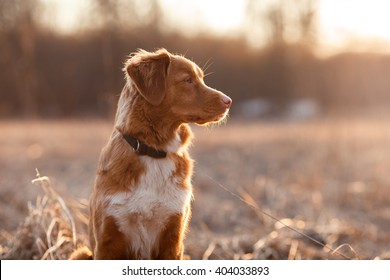 Dog Nova Scotia Duck Tolling Retriever walking, playing, running, jumping in the park in spring