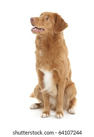 a dog of the Nova Scotia Duck Tolling Retriever breed