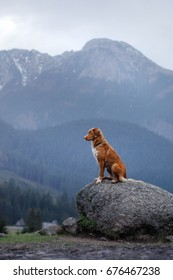dog Nova Scotia duck tolling Retriever in the mountains, beautiful views, landscape and nature