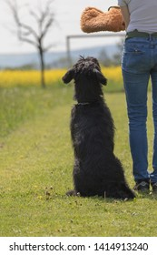 Dog obedience training according to new standards.  Black Schnauzer dog sitting next to his owner.