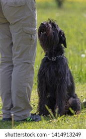 Dog obedience training.  Side view of Black Schnauzer dog sitting in front of her owner.
