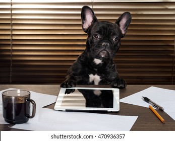 The dog in the office behind a desk. Cabinet, tablet, paper and cup of coffee. Bulldog - boss at the table. The concept of business, pet, head of the company, the boss