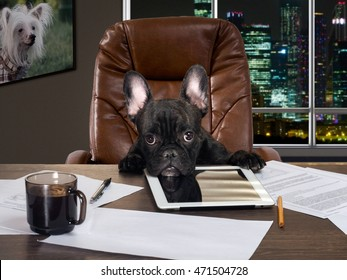 The dog in the office behind a desk. Cabinet, computer, paper and cup of coffee. Bulldog - boss at the table. Business concept, pet, head of the company, the boss