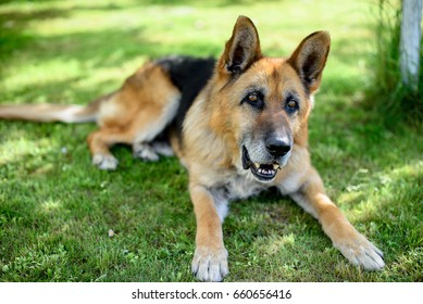 Dog, old German shepherd lies on the grass in the garden