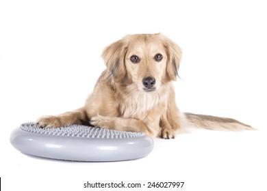 Dog on balance ball on white background
