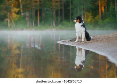 dog on beach. An active pet on the lake. Tricolor australian shepherd