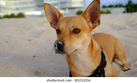 dog on the beach with sand in the snout
