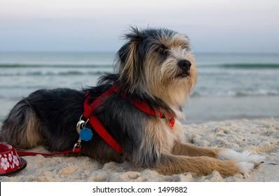 Dog on beach at sunset (gulf shores, al)