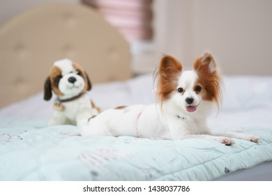 Dog on bed. A portrait shot of a cute dog pure breed of Continental Toy Spaniel Papillon is lying in the bed with dog plush doll.