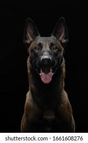 dog on a black background in the studio. Beautiful light. belgian shepherd portrait. Pet indoors
